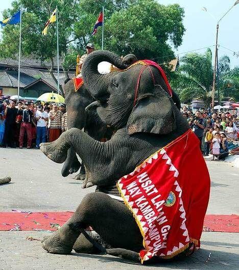 Слон из слоновьего заповедника Кракатау