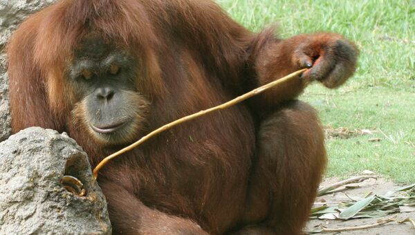 Орангутан с помощью палки добывает апельсиновый сок в зоопарке Сан-Диего