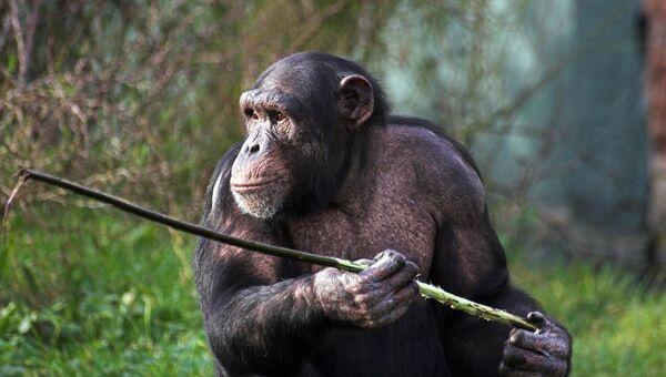 Шимпанзе держит палку. Архивное фото