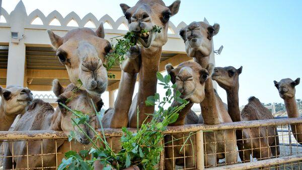 Королевская верблюжья ферма в Бахрейне