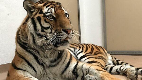 Амурский тигр Мартин в зоопарке Денвера. Архивное фото