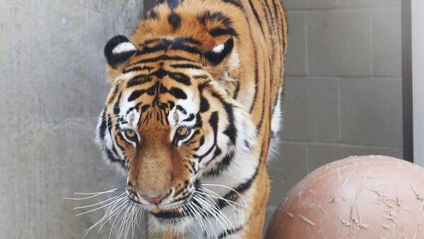 Амурский тигр Мартин в зоопарке Денвера