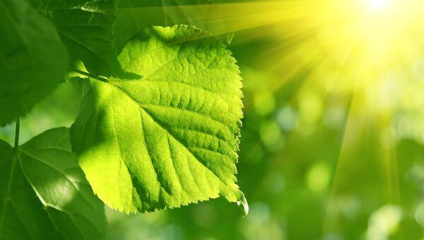 Лист липы в солнечном свете