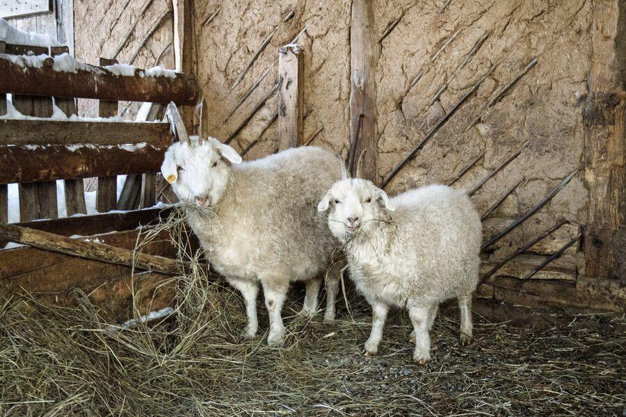 Оренбургские козы в загоне