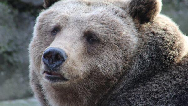 Медведица по кличке Настя в Калининградском зоопарке. Архивное фото