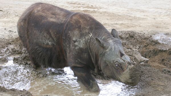 Носорог Ипух, чью ДНК расшифровали ученые