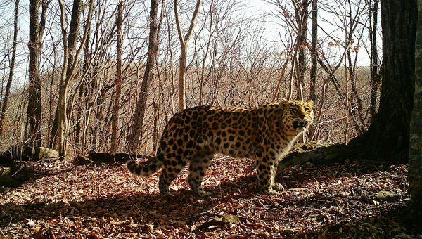 Сбитая на трассе леопардесса Килли обнаружена живой