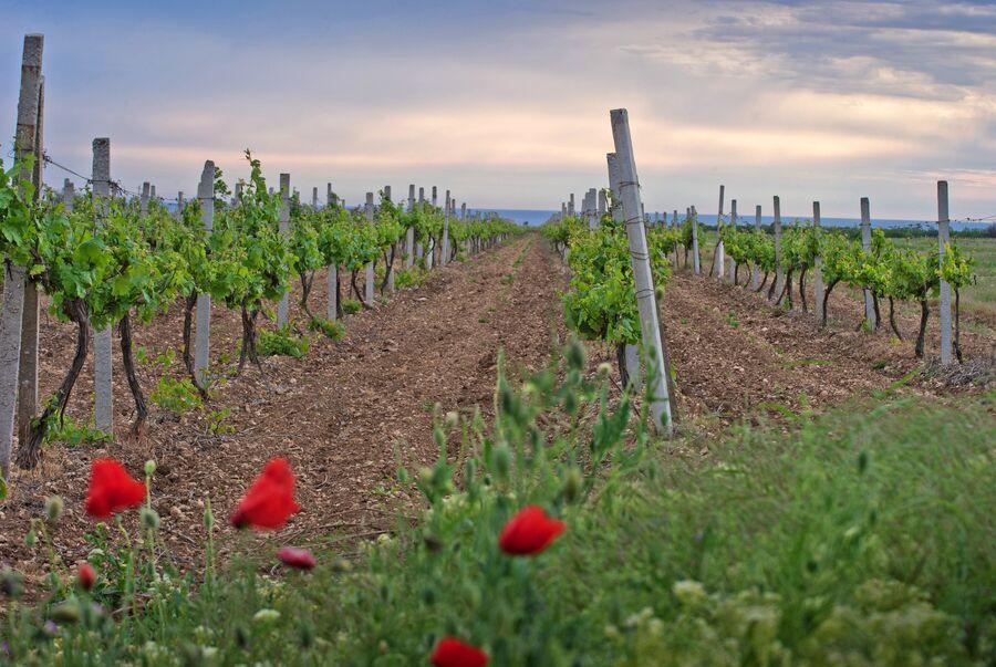 Виноградники винодельческого холдинга Inkerman International