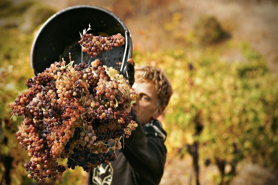Сбор урожая на виноградниках ФГУП ПАО Массандра