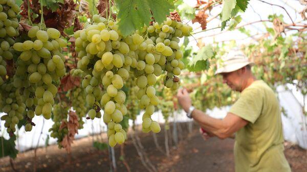 Урожай винограда. Архивное фото
