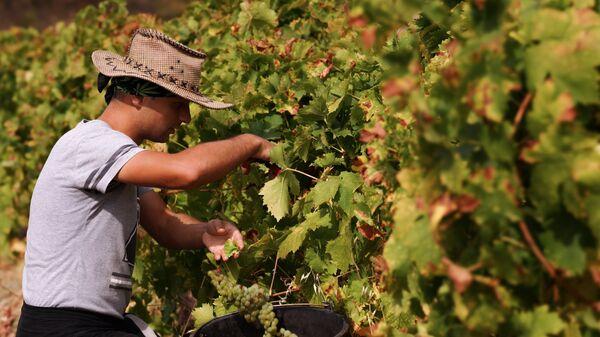 Сбор урожая на виноградниках винодельческого завода Массандра в Крыму. Архивное фото.