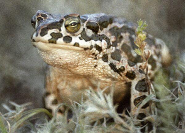 Зеленая жаба. Архив