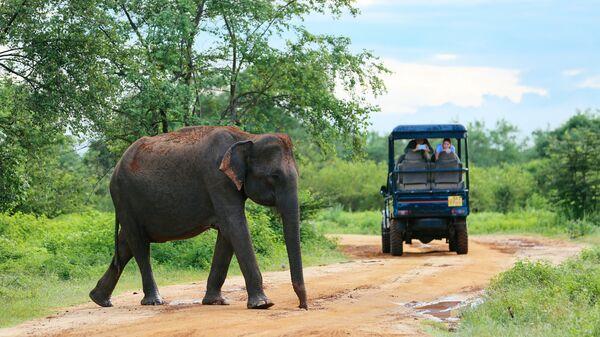 Слон на дороге в Шри-Ланке