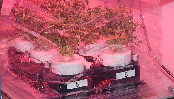Новые горшки для выращивания капусты и японской горчицы на борту МКС