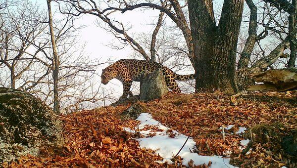 Леопард Leo 61F в парке Земля леопарда