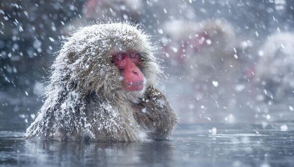 Японский макак наслаждается теплом вулканического озера