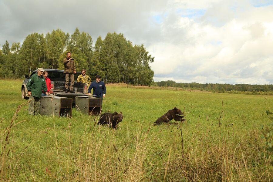 Выпуск медвежат в их естественную среду обитания