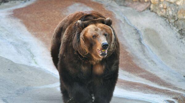 Медведь, проснувшийся после зимней спячки, в Московском зоопарке