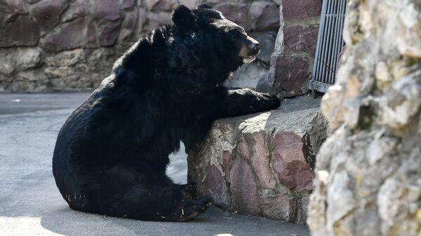 Гималайский медведь, проснувшийся после зимней спячки, в Московском зоопарке