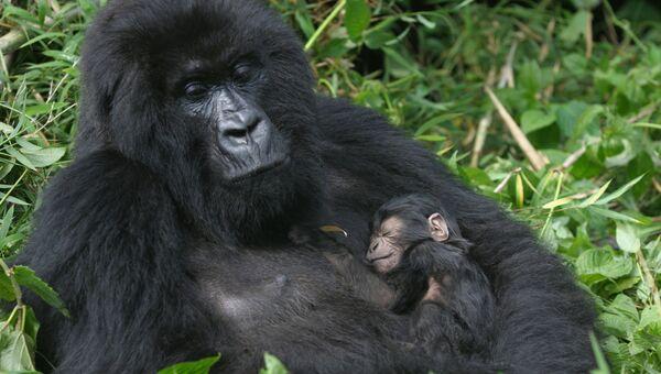 Гориллы, Руанда