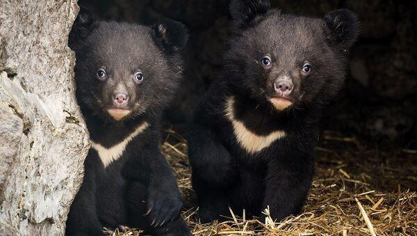 Медвежата медведицы Азы из красноярского зоопарка Роев ручей
