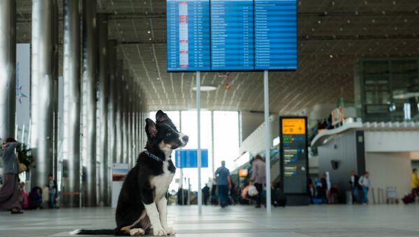 Талисман аэропорта Симферполя щенок Алиса