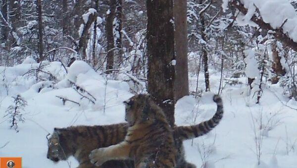 Детеныши амурского тигра в национальном парке Бикин