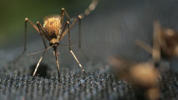 Комар. Архивное фото