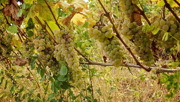 Урожай винограда в Кахетии