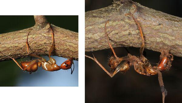 Муравьи, убитые Ophiocordyceps в холодное время года