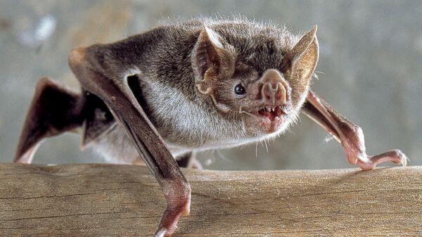 Вампировая летучая мышь
