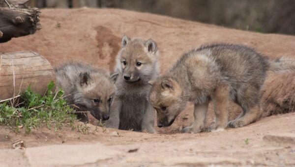Арктические волчата в зоопарке Удмуртии. 4 июня 2018