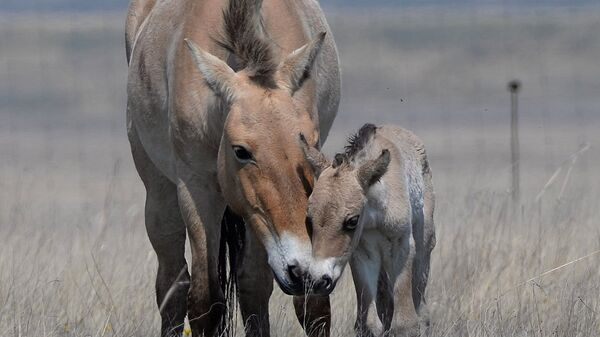 Жеребенок лошади Пржевальского родился в Оренбургском заповеднике
