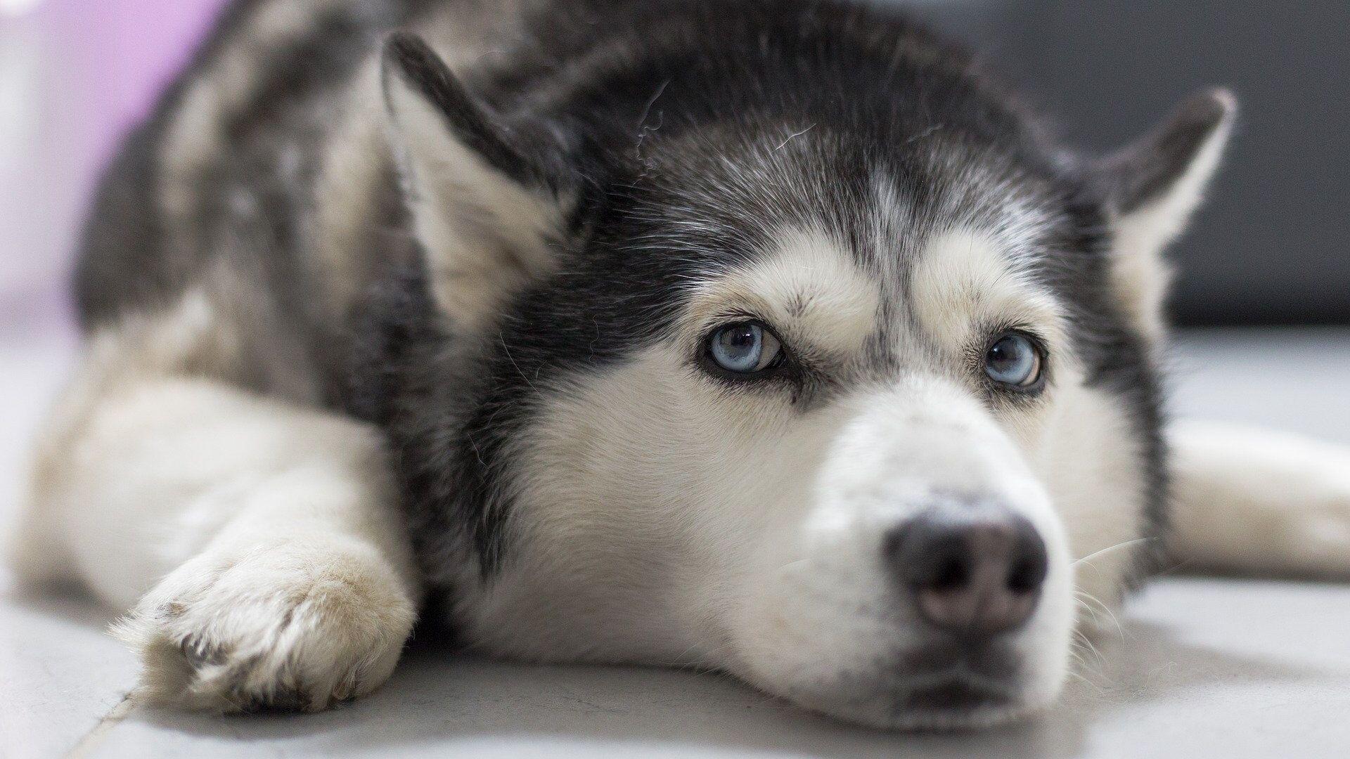 Собака породы хаски - РИА Новости, 1920, 22.01.2020
