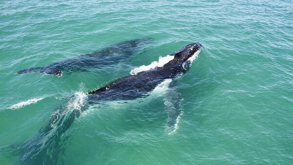 Горбатый кит с детенышем