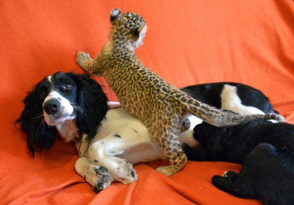 Кокер-спаниель воспитывает котенка леопарда во Владивостоке