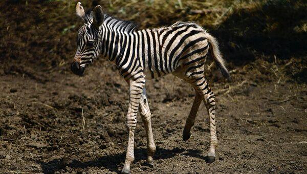 Зебра по кличке Александра, родившаяся 20 июля 2018 года в зоопарке Садгород на Дальнем Востоке