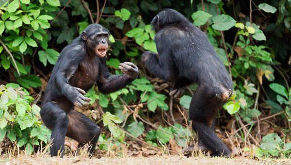 Противостояние шимпанзе