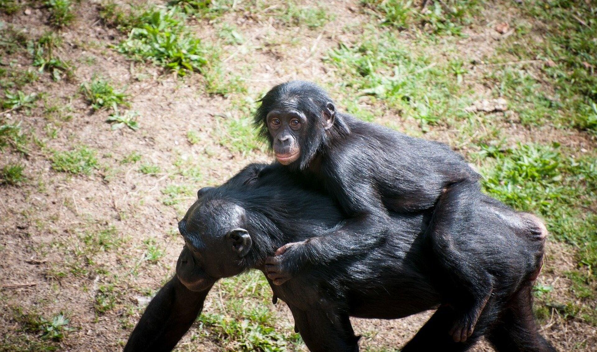 Шимпанзе с детенышем  - РИА Новости, 1920, 02.02.2021
