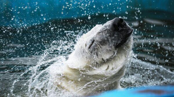 Белая медведица Умка-Аяны в Московском зоопарке. 16 августа 2018