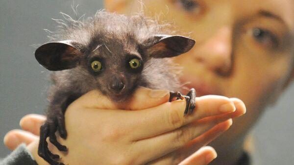 Мадагаскарская руконожка в зоопарке Бристоля, Великобритания