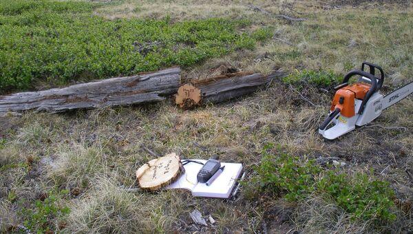 Взятие образцов лиственницы сибирской для определения возраста, Тува