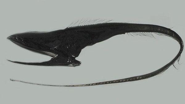 Большерот или рыба-пеликан (Eurypharynx pelecanoides). Архивное фото