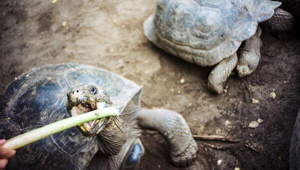 Черепахи в центре Арнальдо Туписы на острове Исабела, Эквадор. Архивное фото