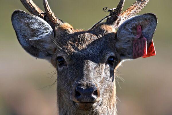 Пятнистый олень в экопарке Леопарды на Гамова в Приморском крае