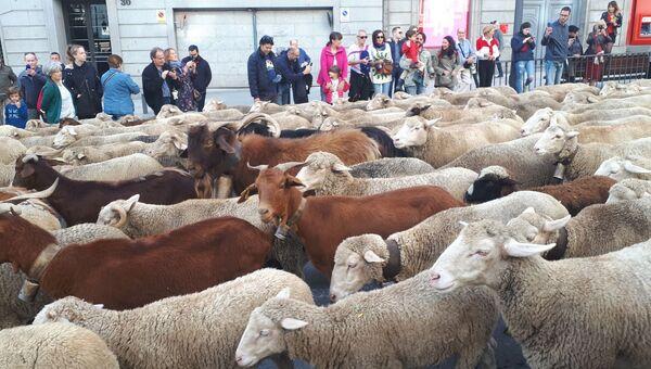 Полторы тысячи животных проходят через центр Мадрида. 21 октября 2018