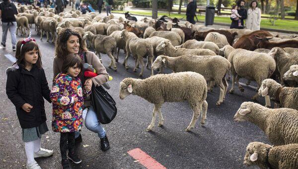 Ежегодная миграция овец через Мадрид