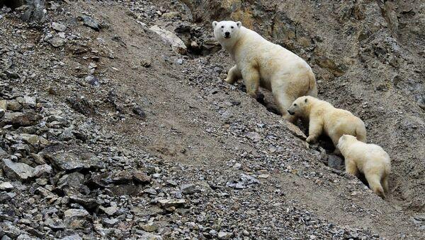 Белая медведица с медвежатами. Архивное фото.