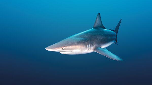 Рифовая акула