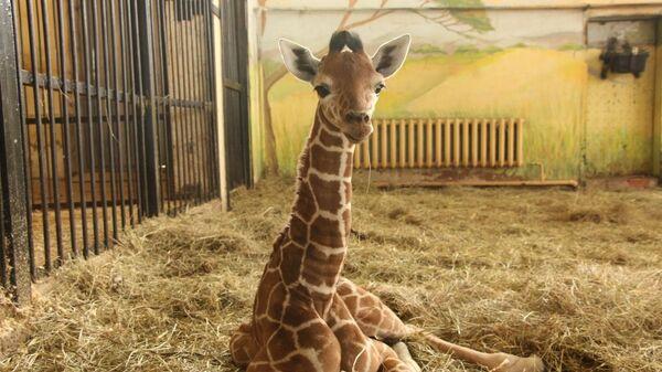 Жираф по кличке Сафари в зоопарке Калининграда